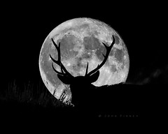 Wild Stag and the SuperMoon (John Finney) Tags: stag deer wildlife supermoon