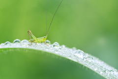 Katydid and Morning Dew (Rendeification) Tags: nikon sigma 105mm macro os d750 micro closeup katydid nature green morning dew droplet water