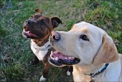 Nelson y Neko (2015) (Selene's Photography) Tags: perro perros dog animal animales naturaleza nature mamifero campo countryside americanstanford labrador