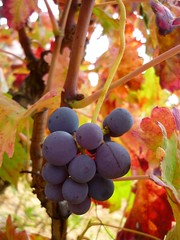 Grapes (3) (calafellvalo) Tags: otoo autumn fall automne herbst ocher reddle ocre ocker viedos vineyard weinberg vignoble rouge red calafellvalo madroo tardor