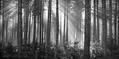 In Northwoods Light (maryanne.pfitz) Tags: landscape northwoods pines forest woods lightrays beams nature trees sunlight fog mist morning tomahawk wisconsin lincolncounty mappano88148821 maryannepfitzinger