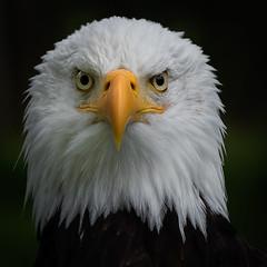 Weißkopf-Seeadler (Matthes S.) Tags: vogel weiskopfseeadler tier tiere natur greifvogel vögel greifvögel bird nature animal eagle baldeagle canon