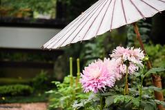 / Dahlia (March Hare1145) Tags: flower  plant   dahlia  japan
