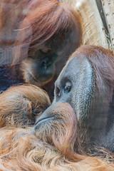 zoo heidelberg4 (micnie) Tags: heidelberg germany zoo tiere nikon d5200 vogel affe otter elefant gorilla schimpanse lwe waschbr schildkrte zebra straus papagei badenwrthenmberg