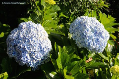 Hortensias (Hydrangeas) Jardin de Celeste, Ataco, El Salvador (ssspnnn) Tags: hydrangea macrophylla hortensia ataco jardindeceleste elsalvador spnunes spereira spereiranunes nunes canoneos70d flores