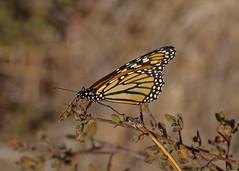 Monarch (Danaus plexippus) Quinta do Lago Portugal 07/10/16 (Mick Sway) Tags: monarchdanausplexippus butterfly butterfliesofportugal algarvebutterflies butterflies europeanbutterflies insectsofthealgarve inexplore nature naturalworld naturephotos