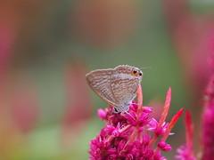 ウラナミシジミ (Polotaro) Tags: mzuikodigital45mmf18 butterfly insect bug nature olympus epm2 pen zuiko チョウ 蝶 虫 昆虫 自然 オリンパス ペン ズイコー ウラナミシジミ 9月