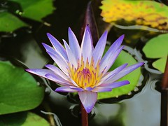 small lily (oneroadlucky) Tags: nature plant flower waterlily lotus purple