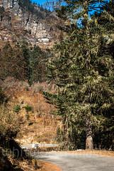 Road to Cheli La (whitworth images) Tags: chelila building high altitude himalayas draped bhutan cold hemlock nunnery plant elevation road tree travel forest mountain lichen kilanunnery green himalaya asia cliff kila parodzongkhag