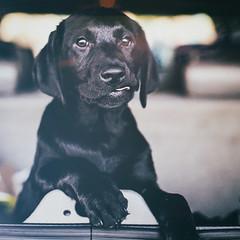Puppy (Thomas Hawk) Tags: america california usa unitedstates unitedstatesofamerica blacklab dog labrador puppy fav10 fav25 fav50