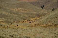 Home on the Range- Yellowstone NP (nebulous 1) Tags: yellowstonenationalpark yellowstonenp ynp landscape nature trees grass buffalo bison herd animal fauna nikon nebulous1 glene
