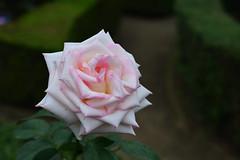 Autumn Rose festival 2016 (Yasuz) Tags: furukawagarden garden autumn festival rose white pink flower nikon nikondf 85mm planart1485 zeiss zf2 nature