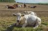Little White Bull (focusmania) Tags: cow bull bullock field herd white brown tagged