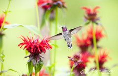 IMG_0274_edit_resized (Lisa Snow Photography) Tags: hummingbird
