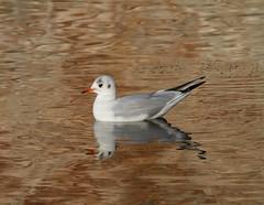 Black-headed Gull (Mukumbura) Tags: perfect reflection blackheadedgull bird gull golden water reflect white grey red wildlife outdoors england chroicocephalusridibundus larus laridae nature