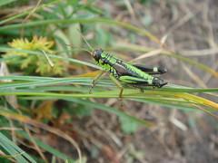 A_Bright_Green_and_Black_Grasshopper_5 (Abbey_L) Tags: alps animal day1pointedangolon france frenchalps grasshopper insect outbreakadventure samoens tjpio tobeidentified