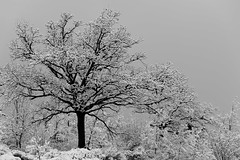 Skeletree (luca_pictures) Tags: tree branches winter snow ice icy marche italy outdoor cold travel bw silence paceful winterstorm