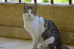 His Highness in balcony (Doctor Ahmed Badr) Tags: cat balcony green eyes animal nikond3200