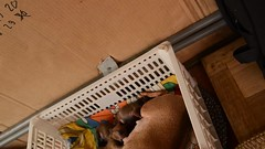 v 3 a con (HwangPhotography) Tags: dog miniature pinscher