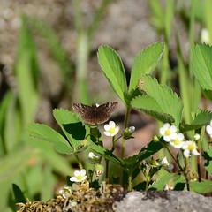 Dreamy Duskywing_1110 ( Erynnis icelus ) (agawa2yukon) Tags: hesperiidae pyrginae butterflies butterfly algoma lepidoptera