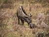 Newborn Wildebeest (Chris Willis 10) Tags: south africa game drive safari wildebeest giving birth newborn calf wildlife nature amazing