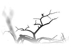 Μικρό πουλί, σε καμμένη γη. (philos from Athens) Tags: parnitha bird bw blackandwhite picmonkey