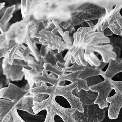 Silber (mobileimpulse) Tags: iphoneart iphoneography gewächs outdoor natur drausen pflanzen bw sw blackandwhite schwarzweiss weis schwarz iphonemacro closeup macro iphone