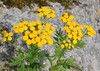 Tanacetum vulgare REINFANN (per.aasen) Tags: tanacetum tanacetumvulgare reinfann rainfarn