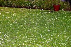 Hail Spring!_1352 (Rikx) Tags: hail hailstorm hailstones storm spring weather rain wind adelaide southaustralia explore inexplore explored