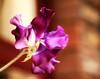 Sweet As (gypsydrs) Tags: flower sweetpea africandaisy