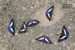Emperors (Antonio Giudici Butterfly Trips) Tags: theindianpurpleemperor  nymphalidae apaturinae mimathymaambicamiranda thailand chiangmai chiangdao butterflies lepidoptera