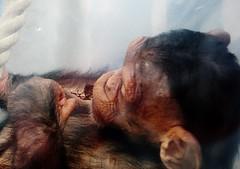 Pan troglodytes --  Chimpanzee child at rest 1372 (2) (Tangled Bank) Tags: asahiyama zoo hokkaido japan japanese asia asian animal zoological gardens pan troglodytes chimpanzee child play 1367 primate chimp juvenile ape