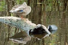 Mallard (f) and American Coot (plsmart) Tags: dncb 201645 stanleypark vancouverbc mallardduck americancoot mallard american coot
