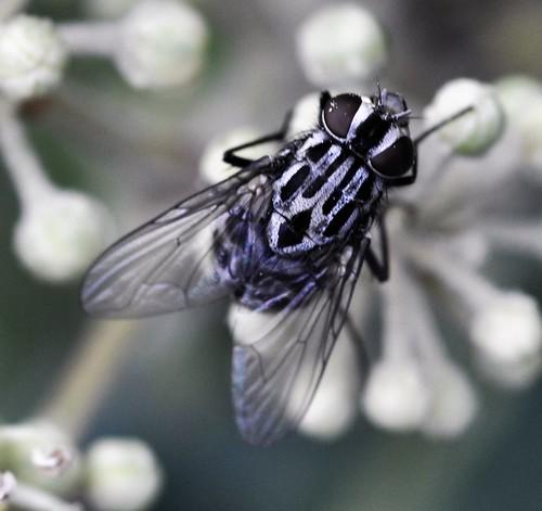 Graphomya maculata.