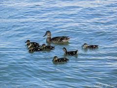 IMG_1124 (IllusionsPhotography) Tags: ducks duckies justkeepswimming swim lake pond nature animals babies babyduck quack
