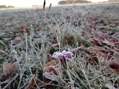 Dianthus im Frost (NIRA GmbH) Tags: sedum frost winter greenroof gründach