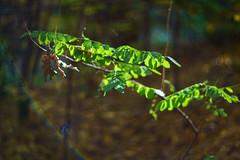 DSC00690 (gabriella.lavati) Tags: sony a6000 schneider kreuznach xenon edixareflexversion m42 50mmf19 manualfocus manual mflens nature spring sesoned color forest wood leaves bokeh bokehdream