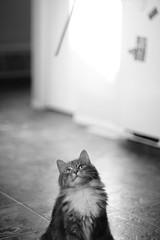 Watching closely (dylan583) Tags: smctakumar1450 m42 takumar sonydslra700 manualexposure wideopen f14 manualfocus adapter cat animal pet blackandwhite blackwhite sonya700 naturallight