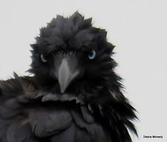 Little Raven (damselfly58) Tags: littleraven crow bird australianbird