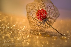 golden physalis (SeattleHVAC172) Tags: nature macro light bokeh golden plant flora fruit composition decoration physalis olympus digital camera exotisch natur licht pflanze frucht