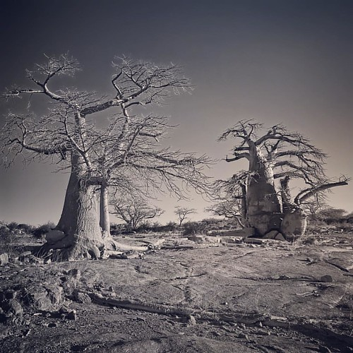 These millennia-old Baobab trees grow on an Kubu island in the Makgadikgadi Pan (salt flats) in Botswana. This rock outcrop with these rather alien looking trees surrounded by the white surface of the pan going on forever into the distance is like nothing
