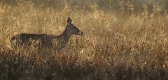 The Golden Hind (andy_AHG) Tags: animals rural walking outdoors unitedkingdom wildlife reddeer pennines rambling barnsley southyorkshire britishcountryside northernengland wentworthcastle ruttingseason