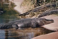 Crocodile (LUSEJA) Tags: 50mm buenosaires cocodrilo crocodile ricoh escobar bsas f12 2015 rikenon temaiken singlextls luseja