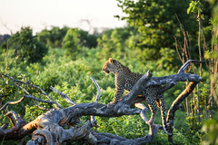 Baby leopard chilling after dinner (kamentsev) Tags: africa sunset tree animal forest nationalpark outdoor wildlife leopard botswana bushes chobe liferoads