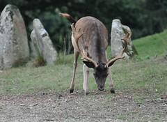 Dama dama - Daim européen - Fallow deer - 30/08/15 (Philippe_Boissel) Tags: france europe bretagne fallowdeer mammals morbihan mammifère daim cervidae damadama artiodactyla priziac cervinae daimeuropéen 0079d