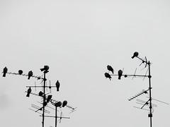 Scherenschnitt (onnola) Tags: autumn berlin bird silhouette kreuzberg germany deutschland pigeon herbst taube antenne antenna vogel fernsehantenne