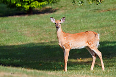 Fawn on the Lawn   [Explored} (acadia_breeze4130) Tags: pennsylvania frontlawn fawn deer young spots mammal visitor canon 7d karencarlson whitetaildeer whitetail explored