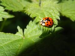 Aziatisch lieveheersbeestje (Harmonia axyridis) (Frank Berbers) Tags: insect ladybird kfer marienkfer kever zuidlimburg lieveheersbeestje aziatischlieveheersbeestje asiatischemarienkfer multicolouredasianladybird