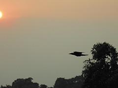 Bird Watching - Black Beauty Take off (sureba67) Tags: nature birds photography photograph crows birdwatching birdinflight birdtakeoff sureba67 niftybaba babusuresh