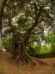 Fig tree (MikeAncient) Tags: portugal geotagged lisboa lisbon fisheye lissabon hdr ultrawideangle tonemapped tonemap 5exp handheldhdr kalansilm